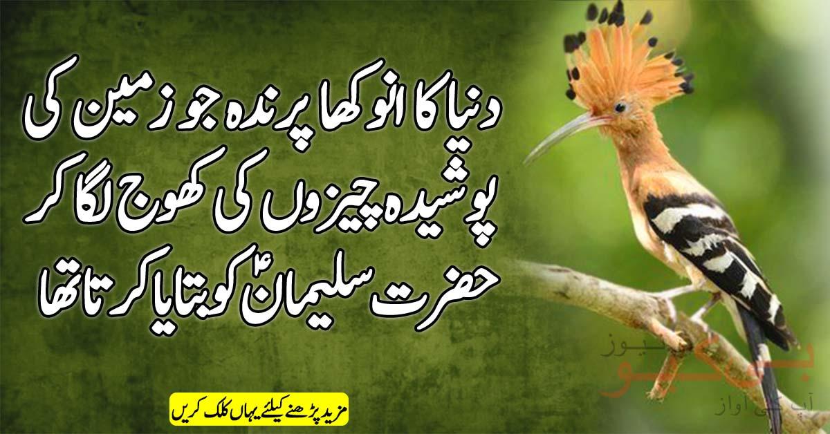 دنیا کا انوکھا پرندہ جو زمین کی پوشیدہ چیزوں کی کھوج لگا کر حضرت سلیمانؑ کو بتایاکرتا تھا